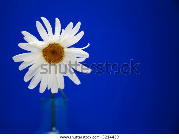 White Daisy in Blue Vase Against Bright Blue Background
