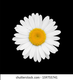 White daisy close-up isolated on a black background