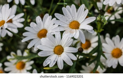 White Daisy with droplet