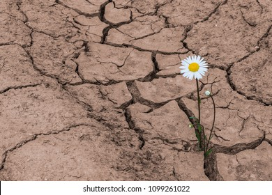 White daisy in dry cracked soil. Leucanthemum vulgare. One flowering plant growing in arid land. Idea of hope. Brown textured background. Concept of soil erosion, climate change, agricultural damage.