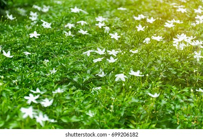 White daisy field with warm morning or evening sunlight shining on. Fresh green tone. Given warm and fresh feeling of peace and happiness.