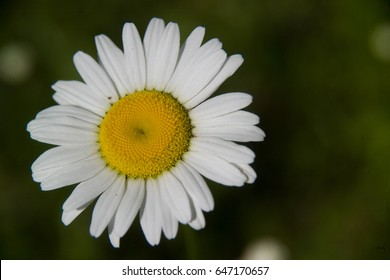 White Daisy Flower Isolated
