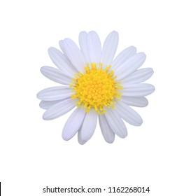 White daisy flower isolated on white background.
