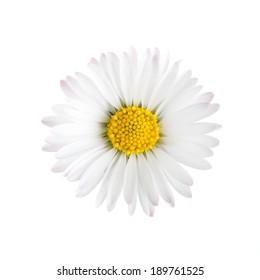 White daisy flower isolated on white background