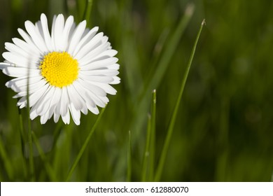 white daisy flower on sunny day and green background
