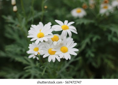 the white daisy flowers