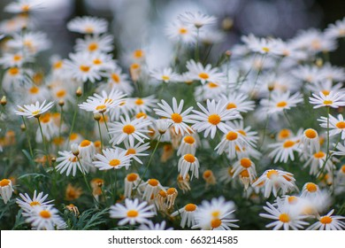 White daisy flowers in bloom, summer floral background