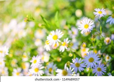 White daisy flowers in morning sunlight background.
