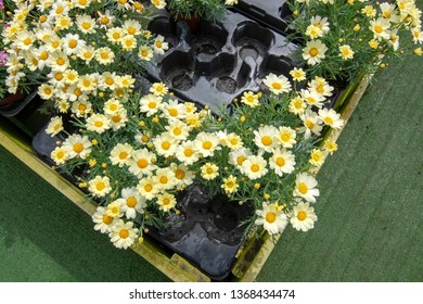 White daisy flowers on display in plastic pot wooden box. Spring garden series, Mallorca, Spain.