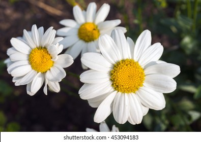 white daisy flowers selective focus