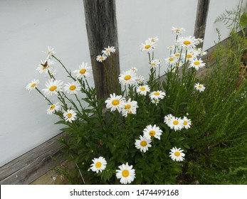 white daisy flowers in summer with a butterfly