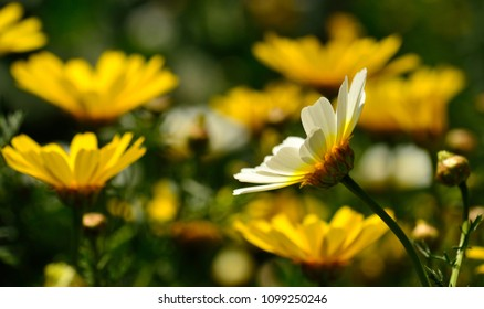 White daisy in foreground and blurred  background of yellow daisies