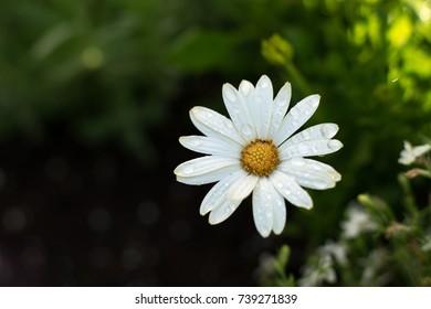 White Daisy in a garden.