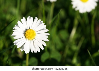 white daisy in the grass under the late afternoon sun