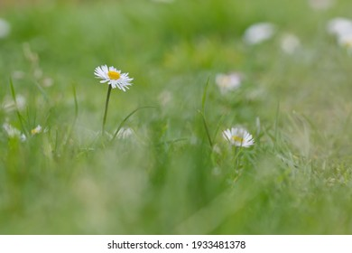White daisy in a green bluring background