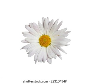 white daisy isolated on a pure white background