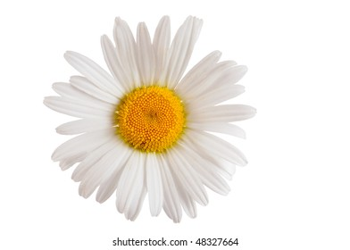 white daisy marguerite isolated