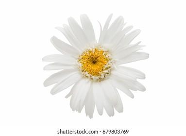 White daisy on white background
