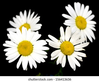 white daisy on a black background