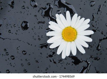 A white daisy on a black background with water drops