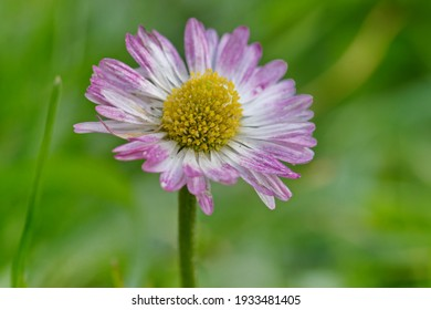 White daisy, rose hemmed, in a green bluring background
