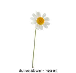 White daisy with stem on white background