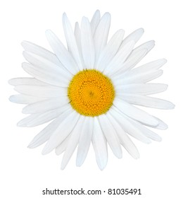 White Daisy with Yellow Center Isolated on White Background