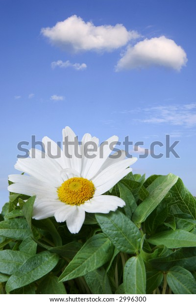 White daisy with yellow centre growing in fresh green field with blue sky background