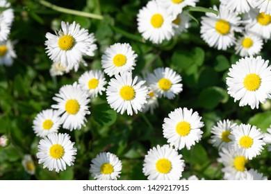 White daisys in the summer sun