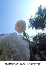 White  Daliya flowers