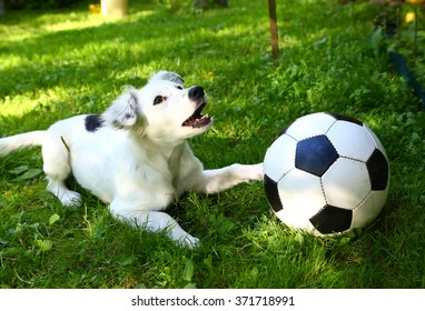 white dalmatian puppy play with black and white soccer ball on summer green grass background