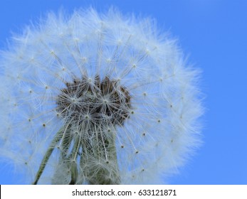 White dandelion against a blue sky