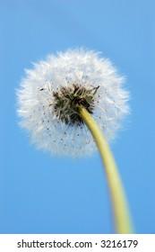 White dandelion and blue sky