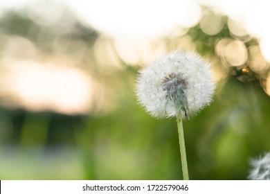 White dandelion with blurred background