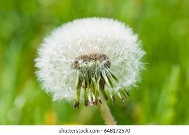 White dandelion, close up