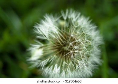 White dandelion in the dew blurred background