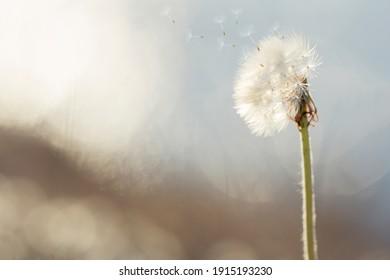 White dandelion flies against bokeh background. Concept wallpaper, wallpaper on the screen.