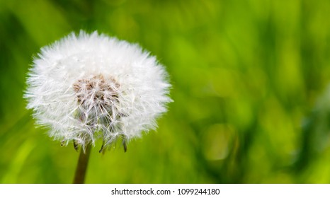 White dandelion flower on green grass background. Fluffy blowball.
