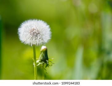 White dandelion flower on green grass background. Fluffy blowball.