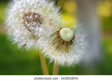 White dandelion flowers with seeds - parachutes. Allergenic flower. Blowball.