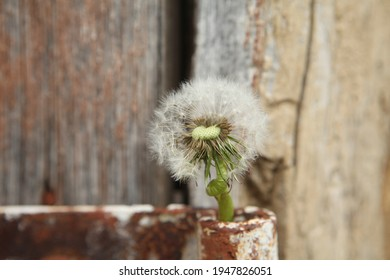 White dandelion with green background. nature green backgound. Dandelion. Beautiful Dandelion flower with seeds in the field. Fluffy dandelion flower plant in the garden in summer.