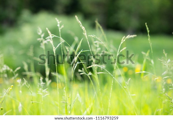 White dandelion in the green grass. Closeup photo of ripe dandelion. Closeup of fluffy white dandelion in grass on the field. Nature colorful background. Toned, style photo.