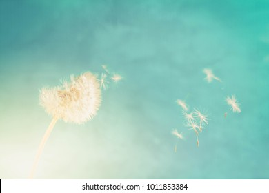 White dandelion head blowball with flying seeds on bright blue background, retro toned
