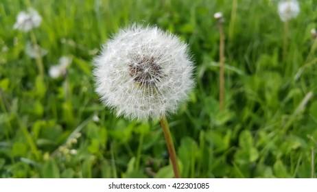 White dandelion on green meadow have secrets