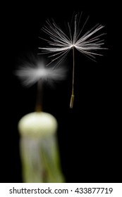 White dandelion seeds flying with a flower on black background