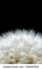 White dandelion seeds on a flower on a black background