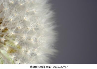 White Dandelion (Taraxacum Officinale) Flower Macro With Copy Space