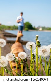 White dandelions blowballs foreground and blurred dog and man background. Spring leisure.