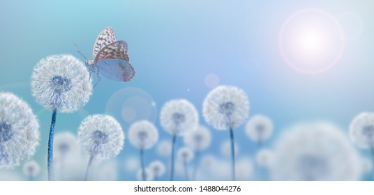 white dandelions with butterfly on blue background, wide view, creative concept