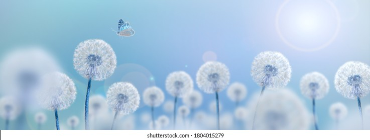 white dandelions with butterfly on blue background, wide view, creative surrealism concept